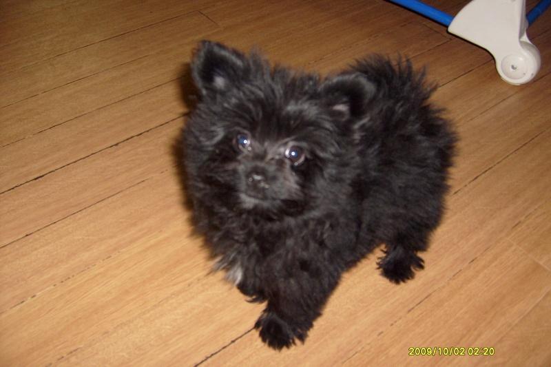 Pomeranian Mixed With Yorkie Black Yorkie Pomeranian Mix ...